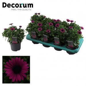 Osteospermum Mary Tray