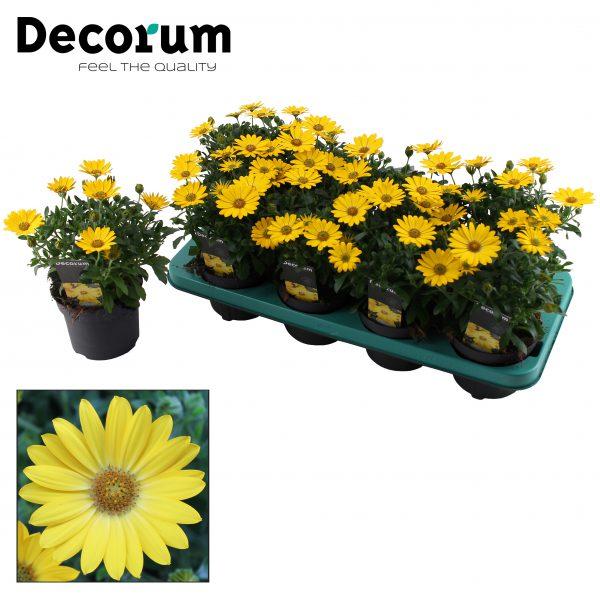 Osteospermum Pure Yellow