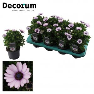 Osteospermum Purplel illumination Tray
