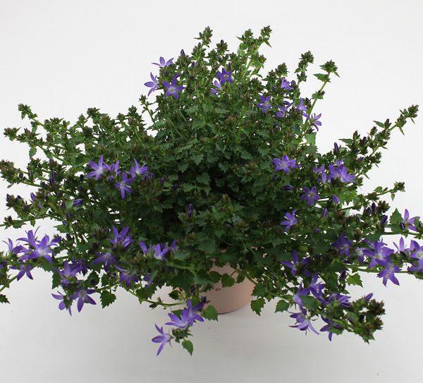 Adansa Purple small