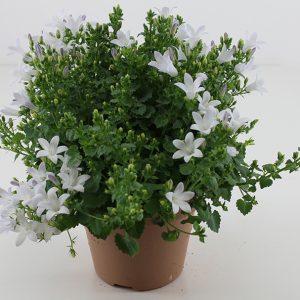 Ambella White small