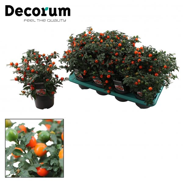 Solanum p 13 decorum tray
