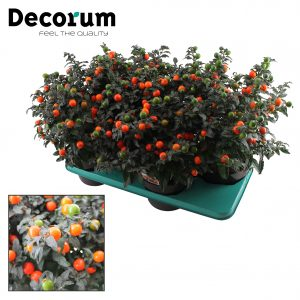 Solanum p17 decorum tray