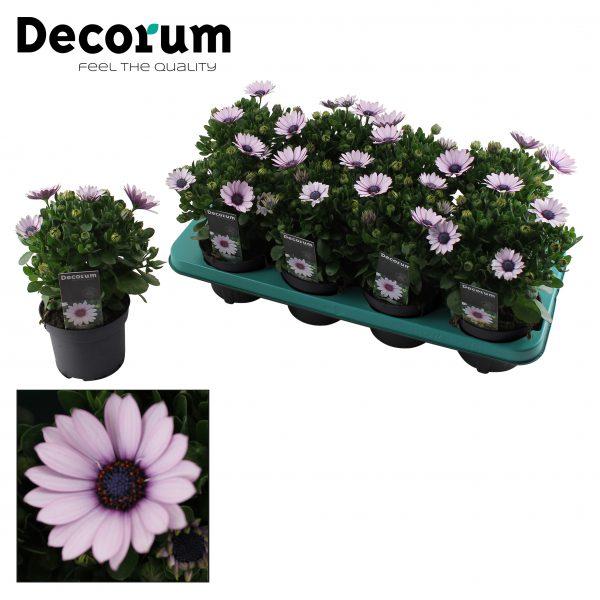 Osteospermum Purplel illumination Tray